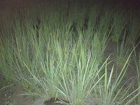稲の姿(夜)