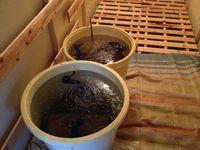 浸種中・・3回目の水交換