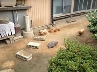 鶏の砂浴び