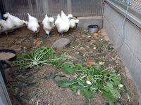 烏骨鶏の初卵