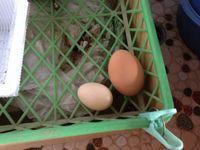 烏骨鶏の卵と普通の卵の比較