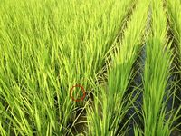 稲の葉の中のトンボ