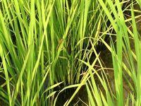 稲の葉の中のトンボ(アップ)