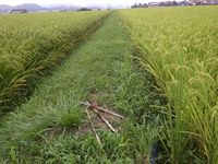 水田の稲の状態