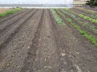 白菜の苗の定植