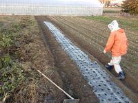 玉葱の植付