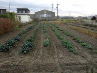 慣行栽培の畑